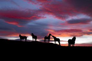 Silhouette of Icelandic Horses At Sunset