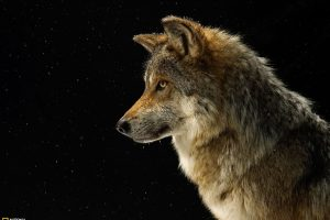 Wolf In Dark Night