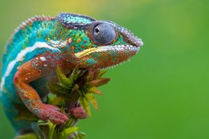 colorful_chameleon-HD