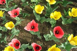 colorful_tulips-HD