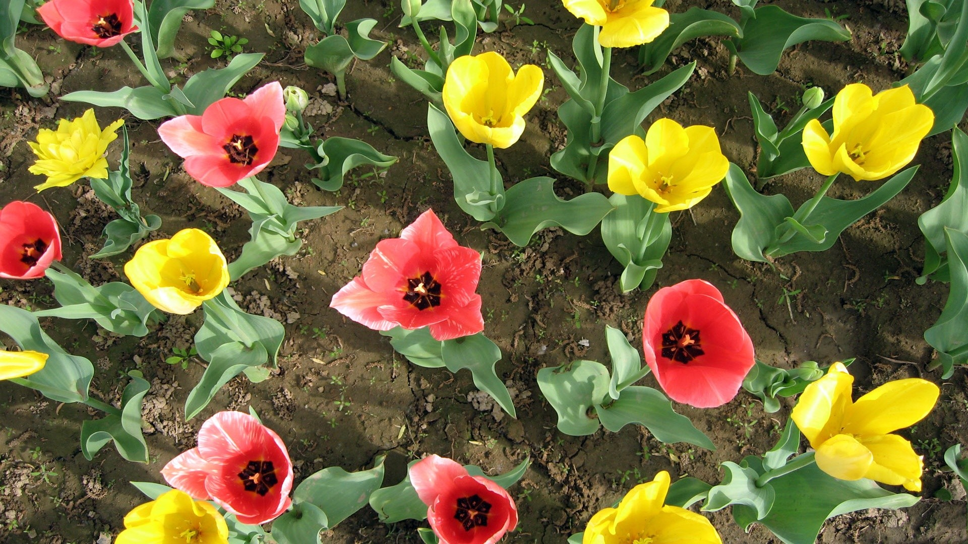 colorful tulips HD