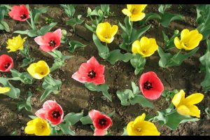 colorful_tulips-normal