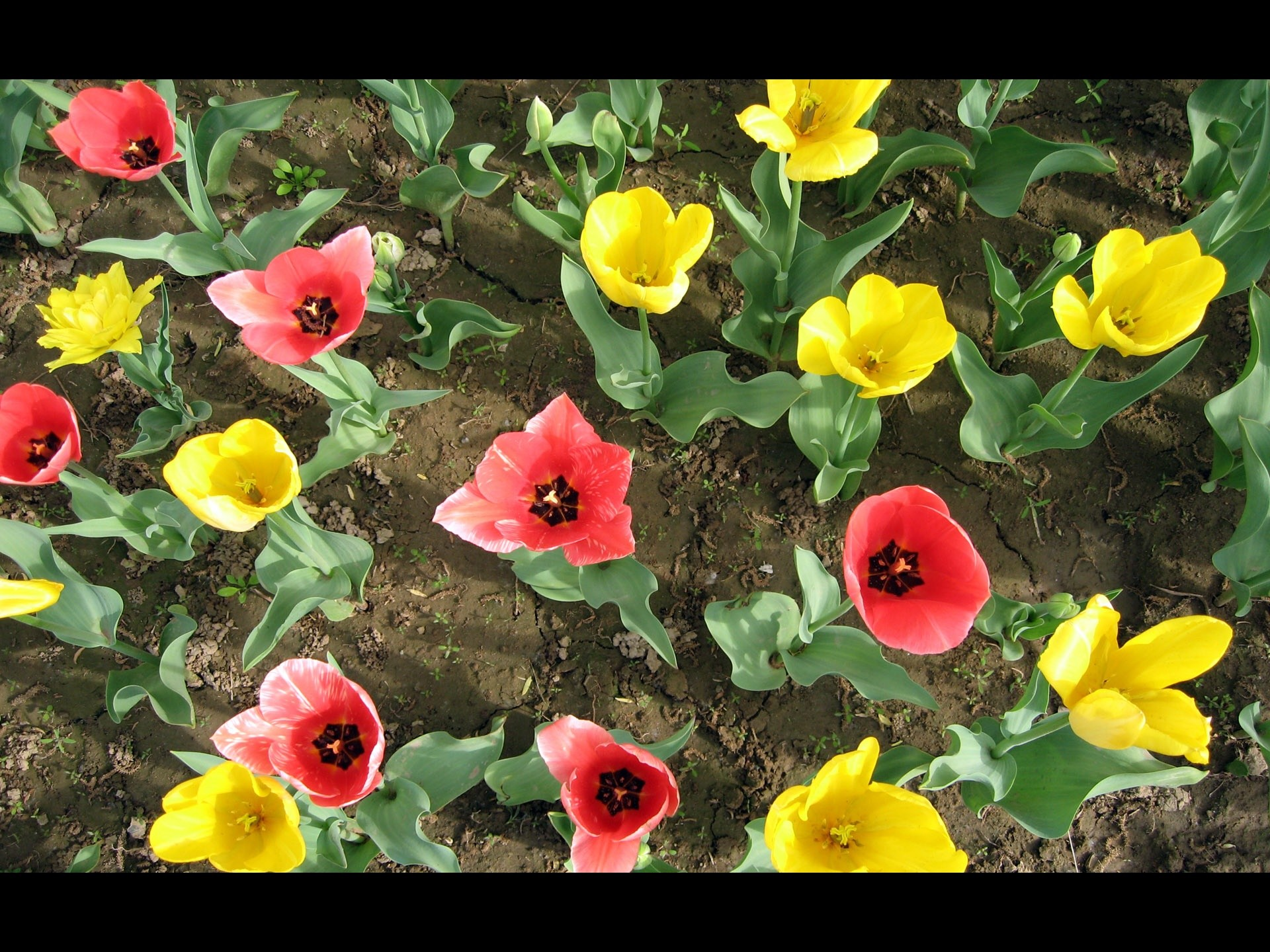 colorful tulips normal