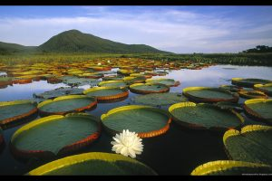 lilies_in_water-normal