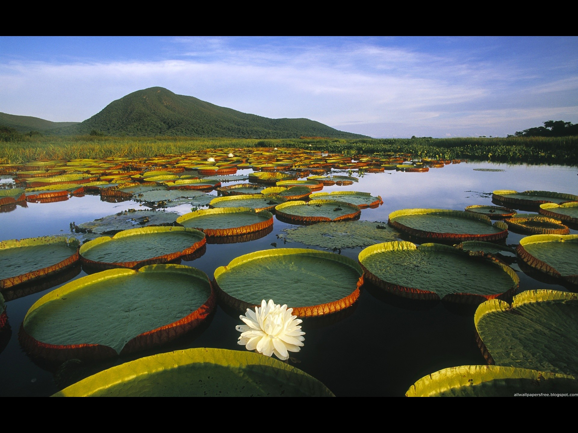 lilies in water normal