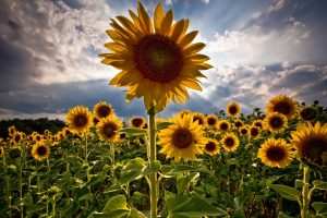 sunflower-HD