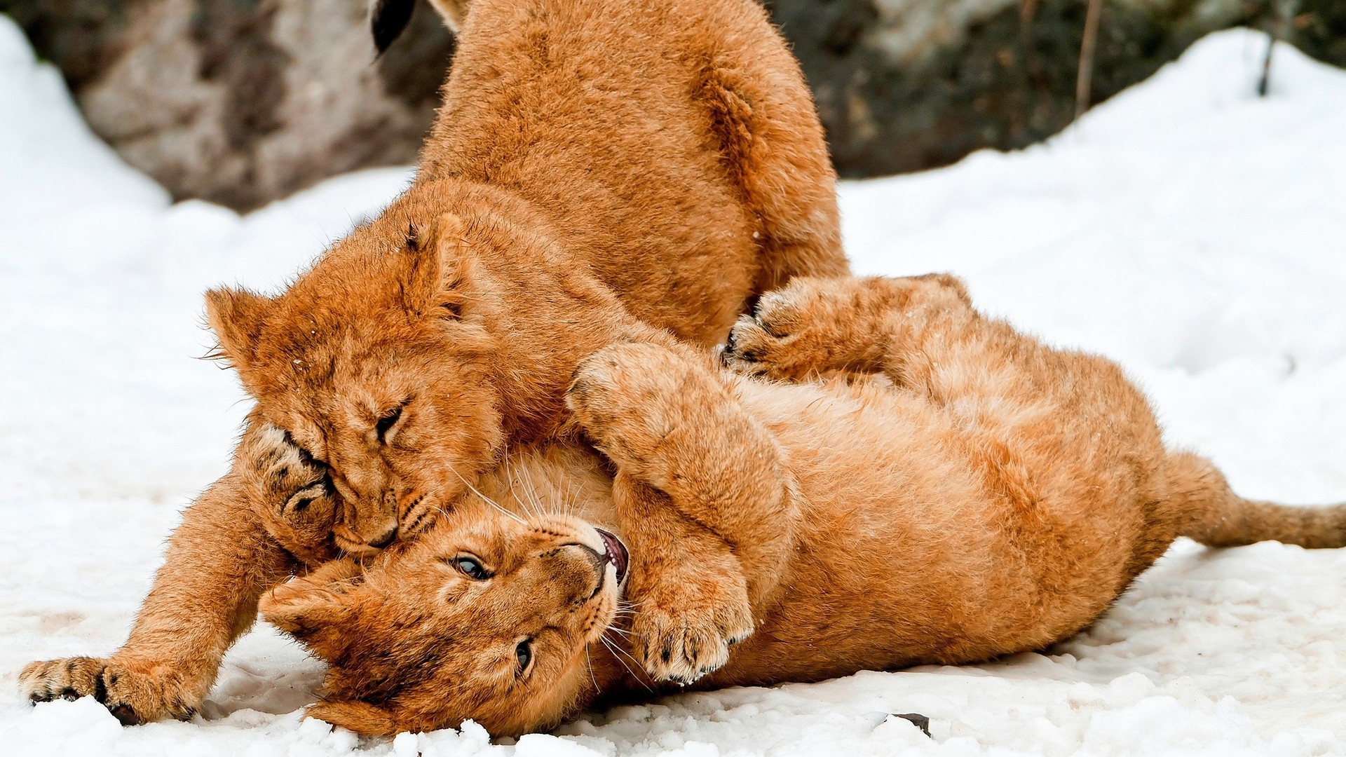 Two Lions Playing On The Snow